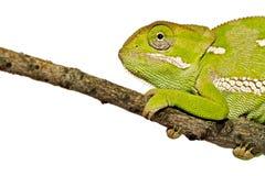 变色蜥蜴接近  免版税图库摄影