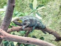 变色蜥蜴放松 免版税库存图片