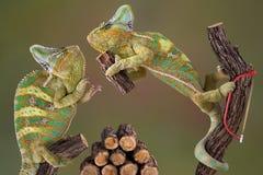 变色蜥蜴木柴做 库存图片