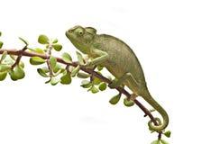 变色蜥蜴枝杈 库存照片