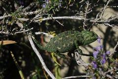 变色蜥蜴欧洲迷迭香 免版税库存图片