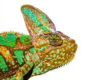 变色蜥蜴照片 免版税库存图片