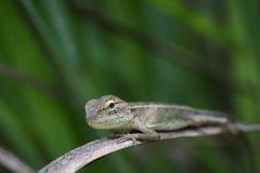 变色蜥蜴的图象在一个棕色分支的 爬行动物 免版税库存照片