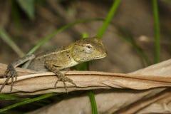 变色蜥蜴的图象在一片棕色叶子的 爬行动物 敌意 库存照片