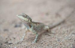 变色蜥蜴的图象在桑迪地板,自然颜色变动上的 免版税库存照片