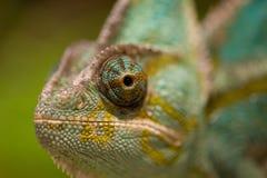 变色蜥蜴的眼睛 图库摄影