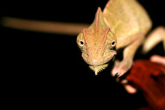 变色蜥蜴纵向被遮掩的也门年轻人 免版税图库摄影
