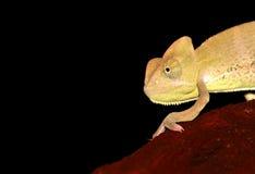 变色蜥蜴纵向遮掩了也门年轻人 库存照片