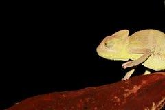 变色蜥蜴纵向遮掩了也门年轻人 库存图片