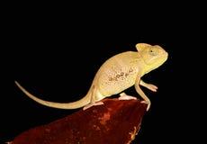 变色蜥蜴纵向遮掩了也门年轻人 免版税图库摄影