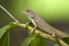 变色蜥蜴绿色 免版税库存照片