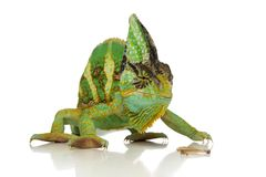 变色蜥蜴绿色 免版税库存图片