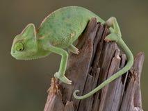 变色蜥蜴蟋蟀注意 库存图片