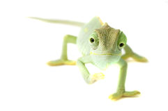 变色蜥蜴隔离白色 免版税库存图片