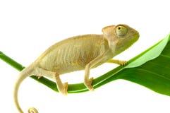 变色蜥蜴隔离白色 免版税库存照片