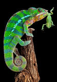 变色蜥蜴青蛙装腔作势地说 库存照片