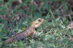 变色蜥蜴马尔代夫 免版税库存图片