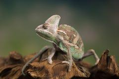 变色蜥蜴,蜥蜴坐在根 免版税库存图片