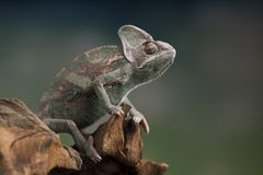 变色蜥蜴,蜥蜴坐在根 免版税库存照片