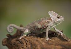 变色蜥蜴,蜥蜴坐在根 库存照片