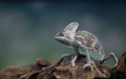 变色蜥蜴,蜥蜴坐在根 库存图片