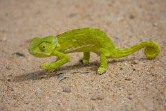 变色蜥蜴 免版税库存照片