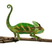 变色蜥蜴 库存照片