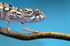 变色蜥蜴 库存图片