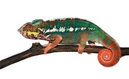 变色蜥蜴furcifer豹pardalis 库存图片