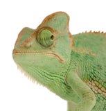 变色蜥蜴也门 库存照片