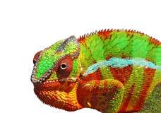 变色蜥蜴五颜六色的超出白色 免版税库存图片