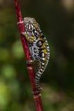 变色蜥蜴修宝石了 免版税库存图片