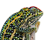 变色蜥蜴修宝石了 免版税图库摄影