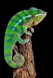 变色蜥蜴偏差木头 免版税图库摄影