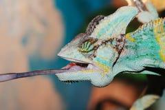 变色蜥蜴吃 图库摄影