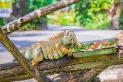 变色蜥蜴和食物 免版税库存图片
