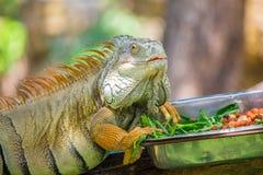 变色蜥蜴和食物 免版税库存照片