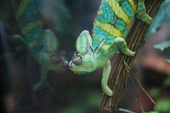 变色蜥蜴图象其镜子 免版税库存照片