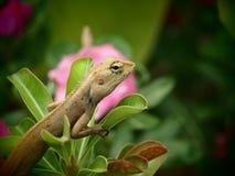 变色蜥蜴在一个绿色分支 后面有桃红色花 库存图片