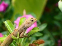 变色蜥蜴在一个绿色分支 后面有桃红色花 免版税库存照片