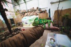 变色蜥蜴在手边 免版税库存照片