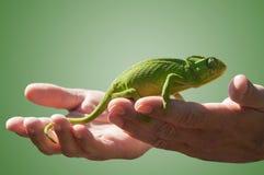 变色蜥蜴在有些手上 免版税库存图片
