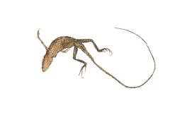 变色蜥蜴尸体 免版税库存图片