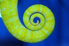 变色蜥蜴尾巴 免版税库存图片