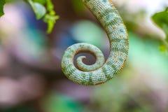 变色蜥蜴尾巴 免版税图库摄影