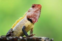 变色蜥蜴朝向  库存图片