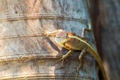 变色蜥蜴本质上 库存照片
