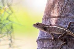 变色蜥蜴本质上 库存图片