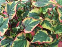 变色蜥蜴植物,鱼腥草cordata 库存照片