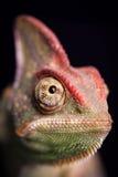 变色蜥蜴特写镜头  免版税库存图片